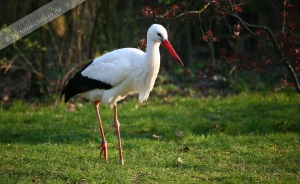 Storch (1)