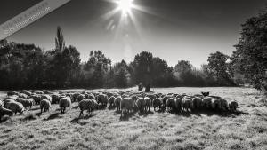 Hirte mit Herde (1)