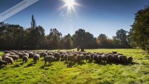 Hirte mit Herde (2)