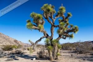 Joshua Tree NP (6).jpg