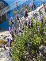 Lavendel auf dem Cap des Rubio  (15)
