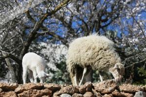 Schafe bei san Vicente (1)