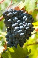 Wein rot 08