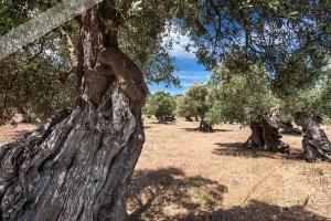 alte Olivenbäume bei Georg Sand